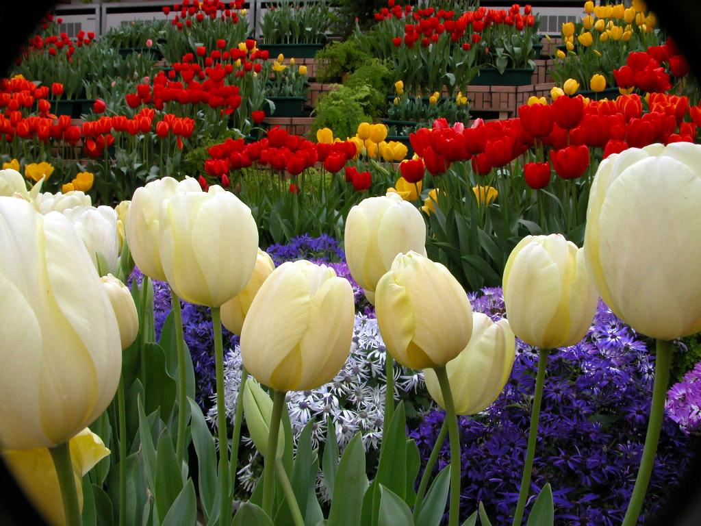 kvetiny-tulipany-frutiko