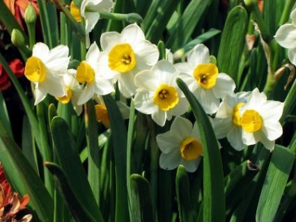 Narcis. jarní květiny
