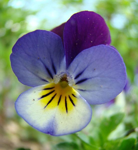 Violka- jarní květiny