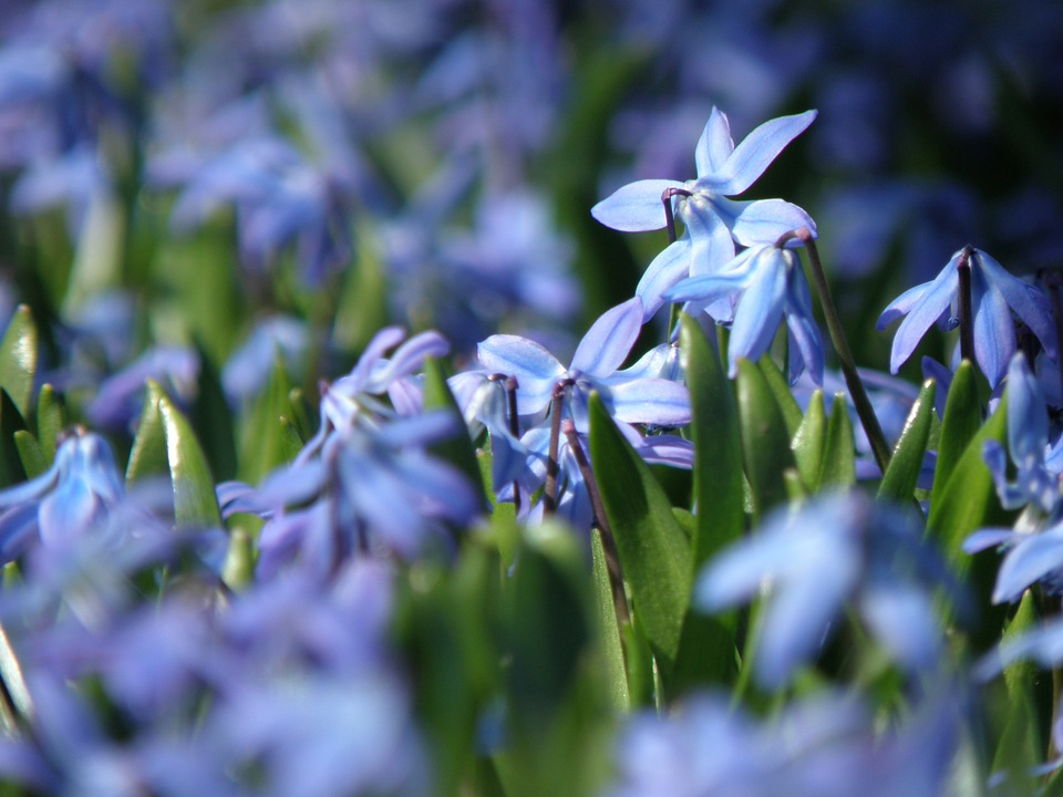 Ladoňka - jarní květiny