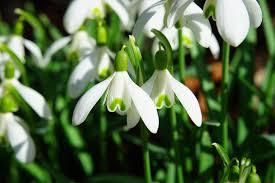 Sněženka- jarní květiny