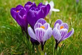 Jarní květiny- krokus