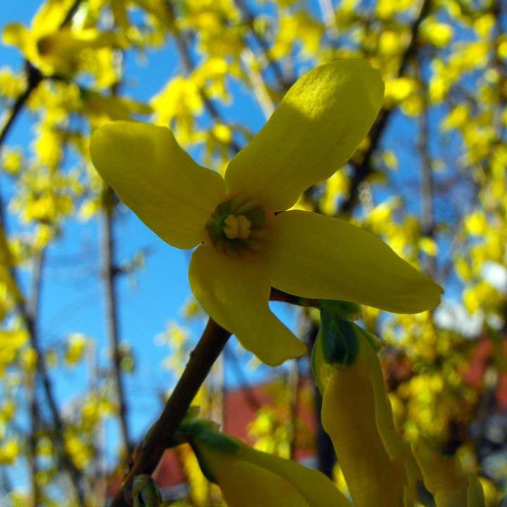 Zlatý déšť - jarní květiny