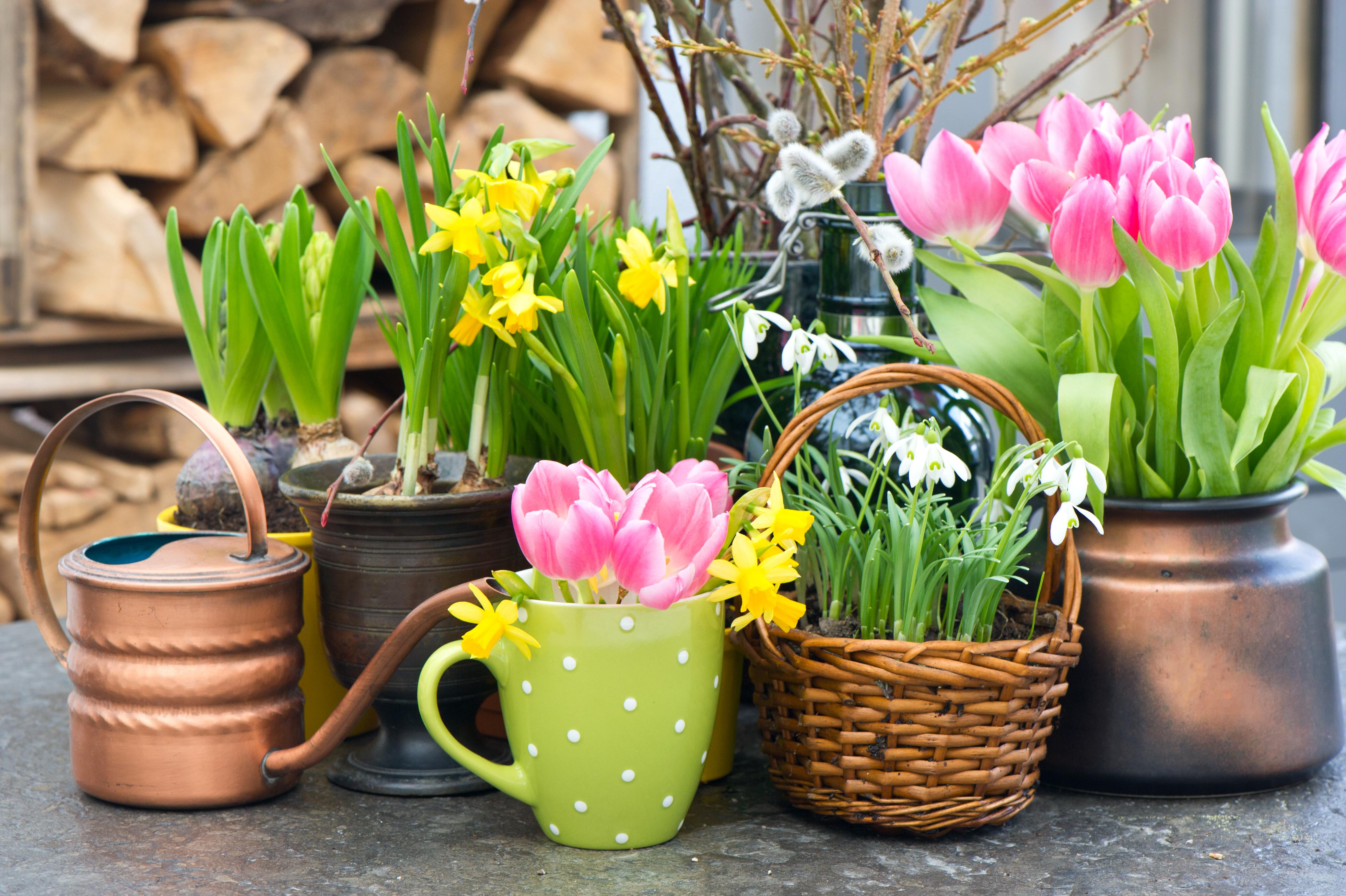 tulipány, kytky